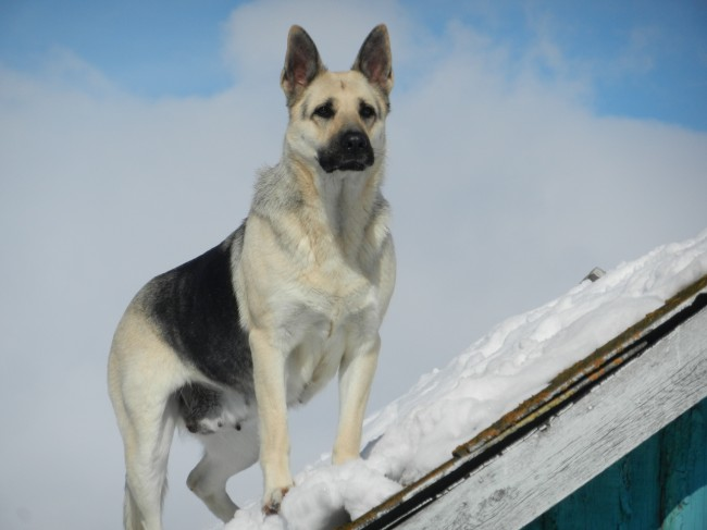 The East European shepherd kennel our breed in Sweden 355