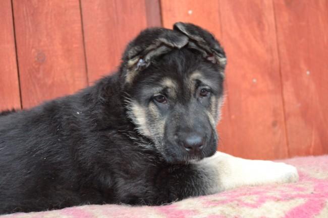 Каким должен быть настоящий щенок ВЕО 4336
